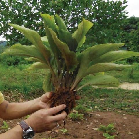 黒ガリンガルサプリメント(クロガリンダ)の原料となる黒ガリンガルの苗
